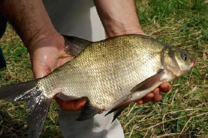Рыба лещ – как выбрать и хранить, секреты приготовления, польза и вред на ydoo.info