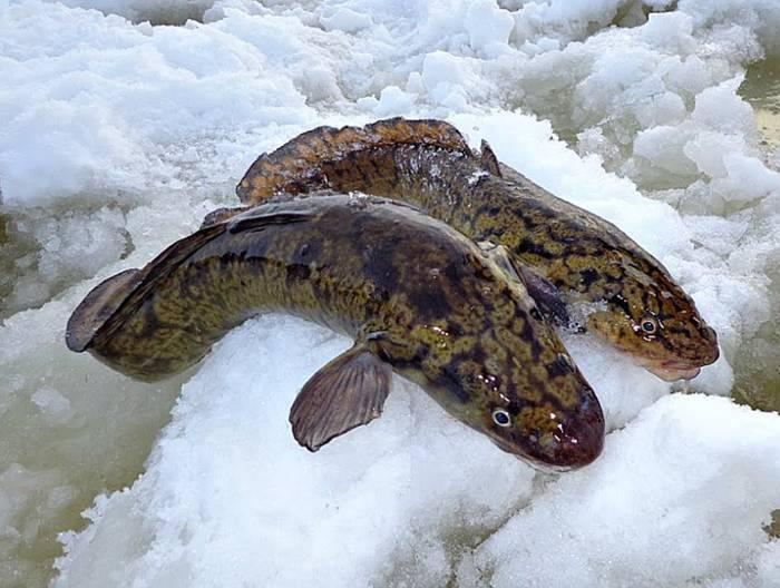 Налим: полезные свойства и преимущества рыбы | food and health