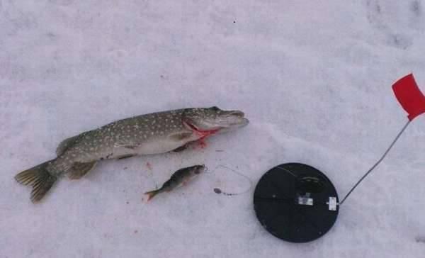 Рыбалка на жерлицы зимой: видео, техника и тактики зимней ловли, как насадить живца | berlogakarelia.ru