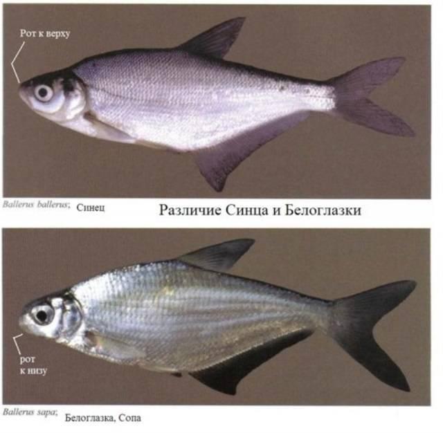 Густера рыба: как выглядит, отличия густеры от подлещика, где водится и когда нерест густеры