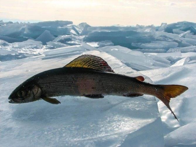 Ловля хариуса зимой: снасти, приманки и тактика