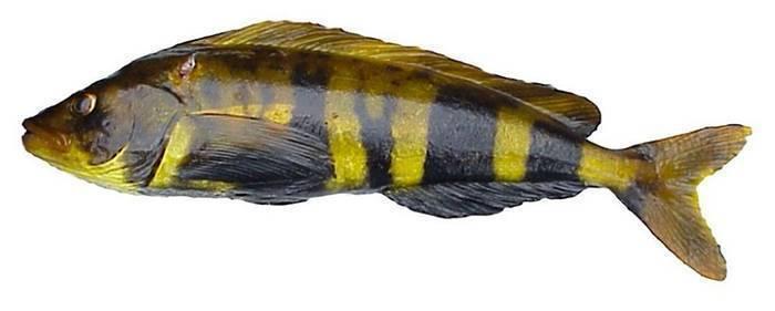 Терпуг: что за рыба, где водится, описание, фото, польза