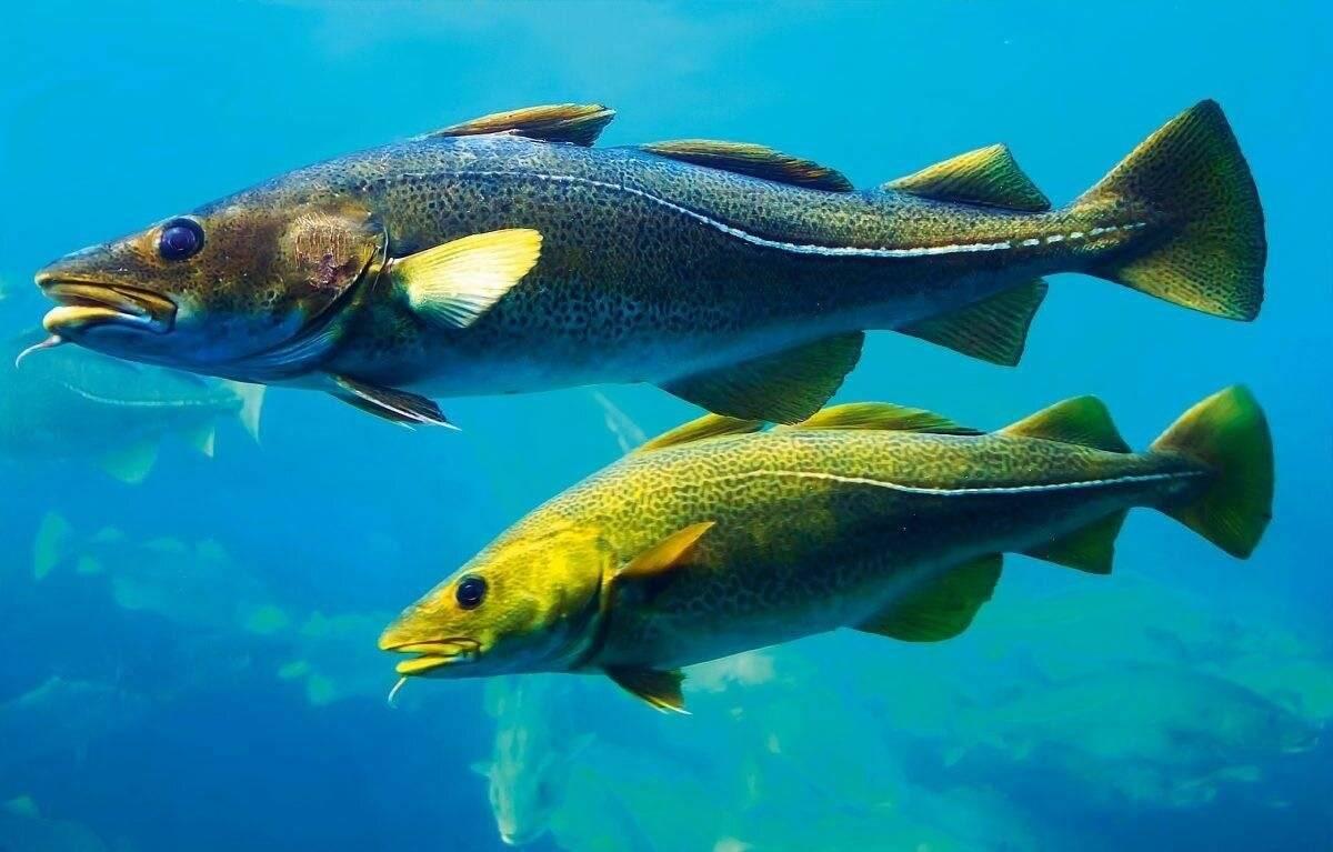 Семейство тресковых рыб с описанием и фото