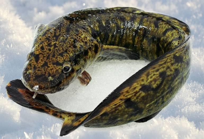 Рыба налим: польза и вред, как выглядит, химический состав, калорийность и противопоказания