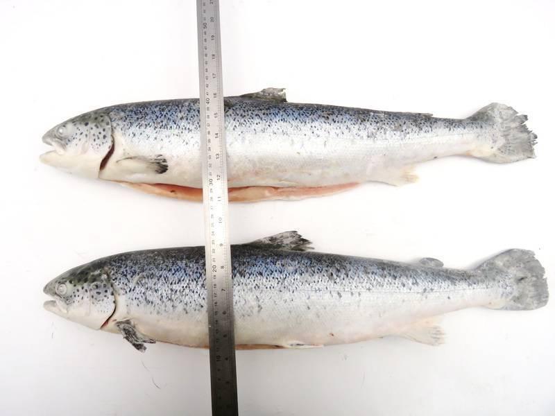 Лосось: какая это рыба