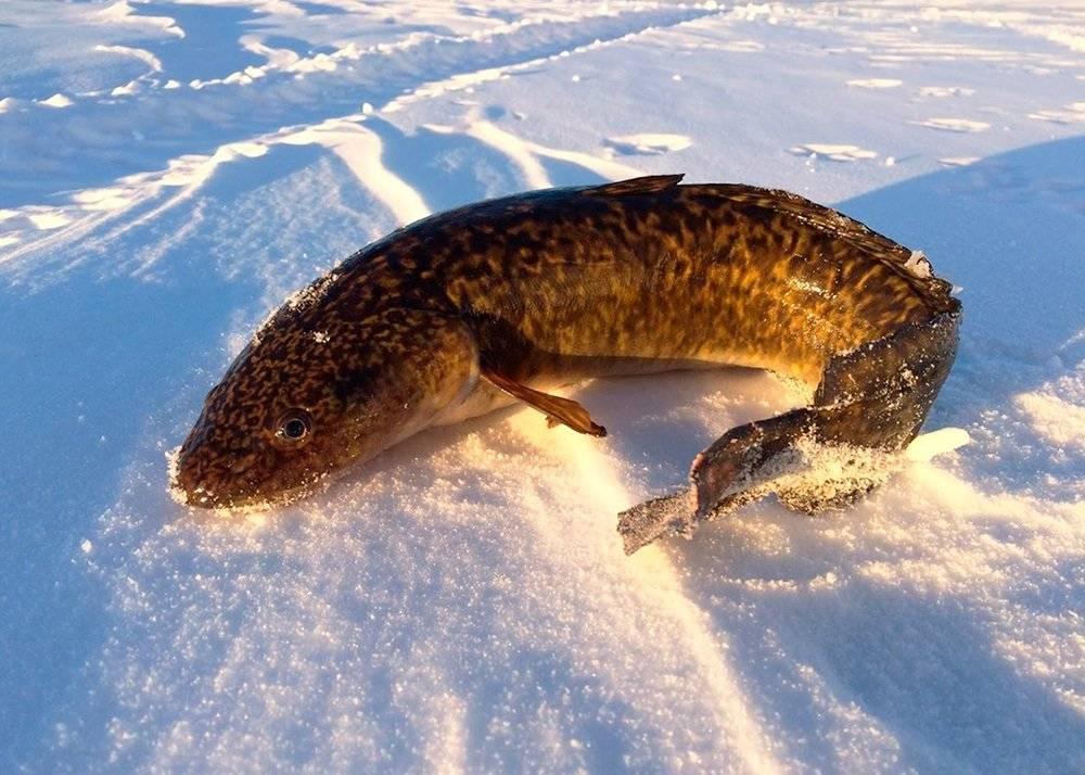 Налим: 100 фото как и где лучше ловить рыбу в разные времена года