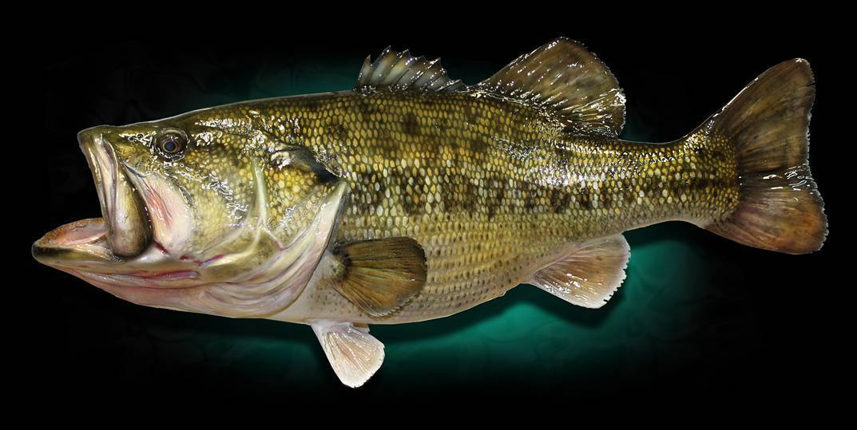 Рыба буффало - фото, описание, ловля | клёвая рыбалка