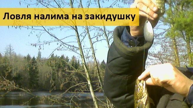 Как ловить налима на стукалку