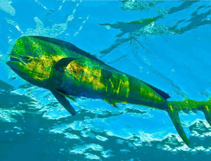 Дорадо (корифена) - как, где и на что ловить в средиземном море израиля   все о рыбалке в израиле