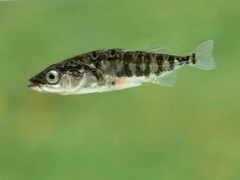 Промысловая рыба трёхиглая колюшка
