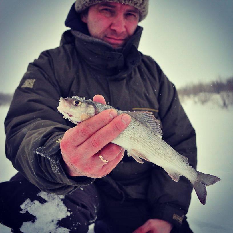 Хариус: описание рыбы, виды, места обитания, способы ловли, приманки, калорийность и гастрономическая ценность