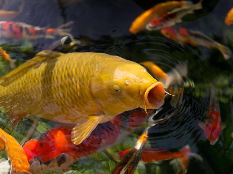 Рыбы семейства карповых: список видов пресноводных промысловых рыб