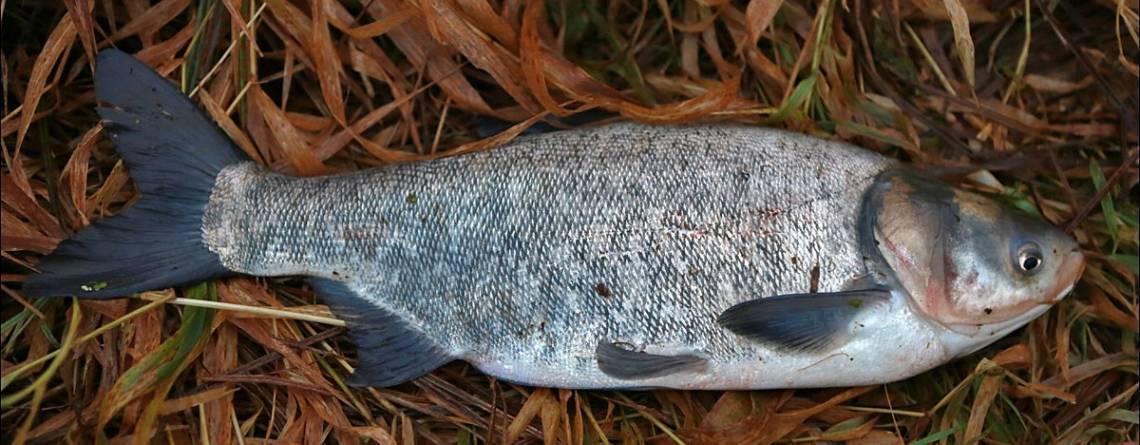 Рыба толстолобик: как выглядит, костлявый или нет
