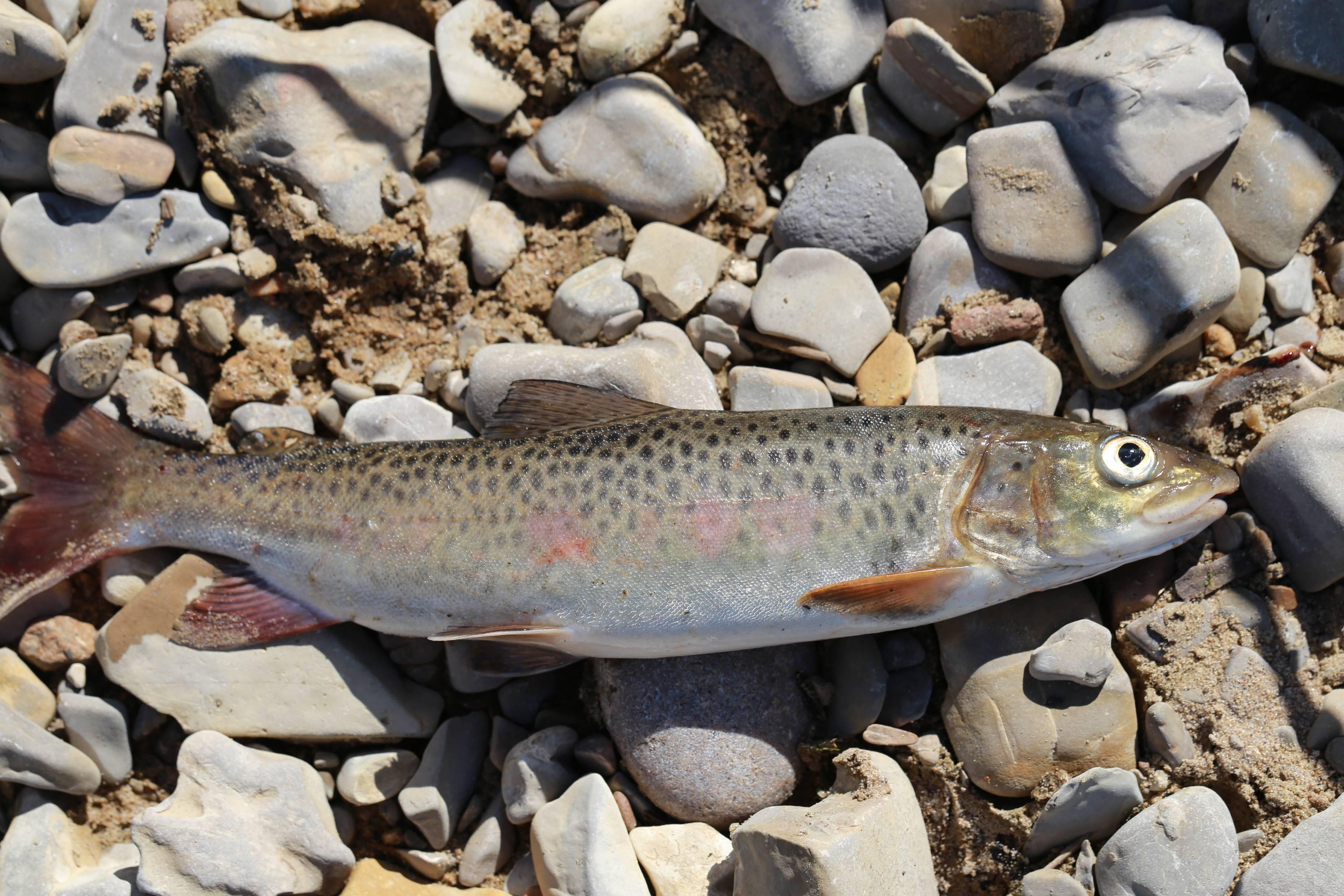 Рыба таймень: состав и польза. как готовят таймень | знать про все
