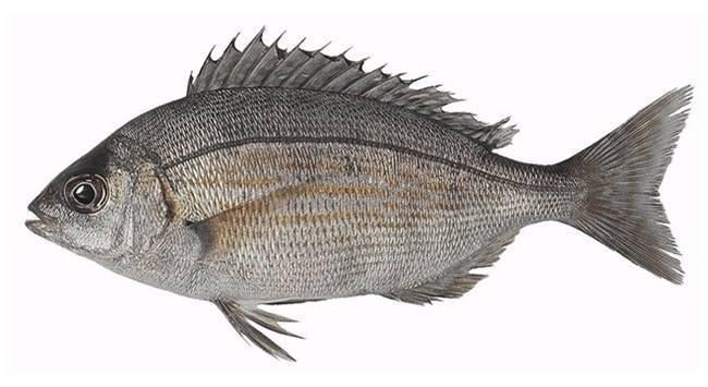 Рыба «Карась-многозуб морской» фото и описание