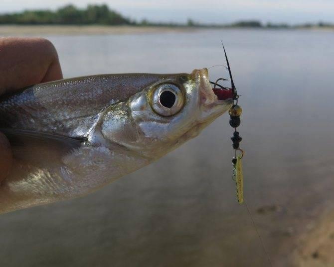 Как ловить чехонь на реке | прикормка и выбор наживок