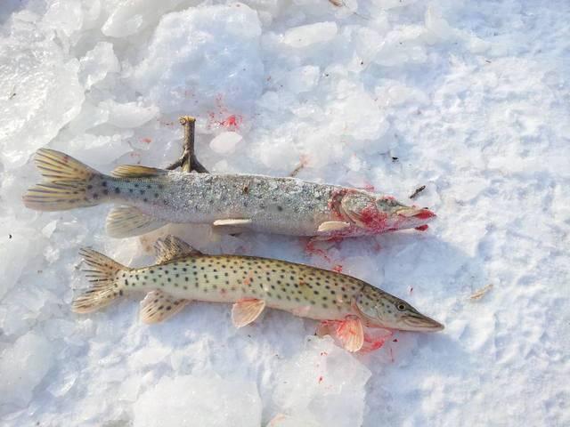 Ловля щуки зимой на блесну: выбор места и практичные советы