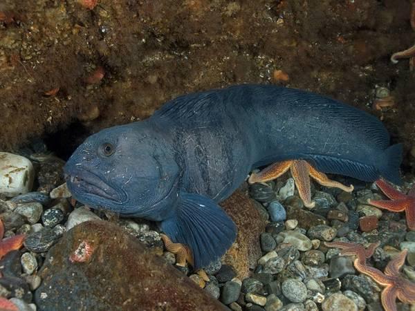 Синяя зубатка (24 фото): как вкусно приготовить рыбу на сковороде по рецепту? польза и вред синей зубатки, разница с пестрой
