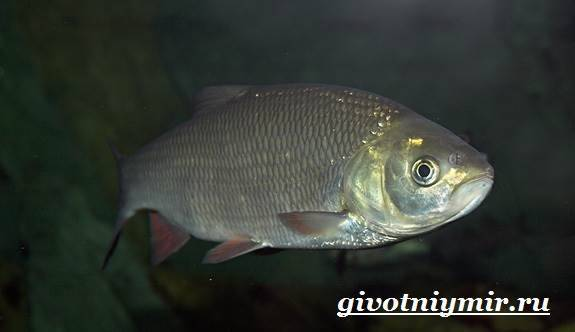 Рыба язь фото и описание - про рыбалку
