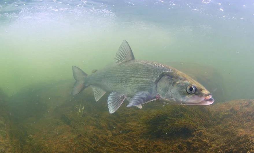 Нельма рыба. описание, особенности, образ жизни и среда обитания рыбы нельмы