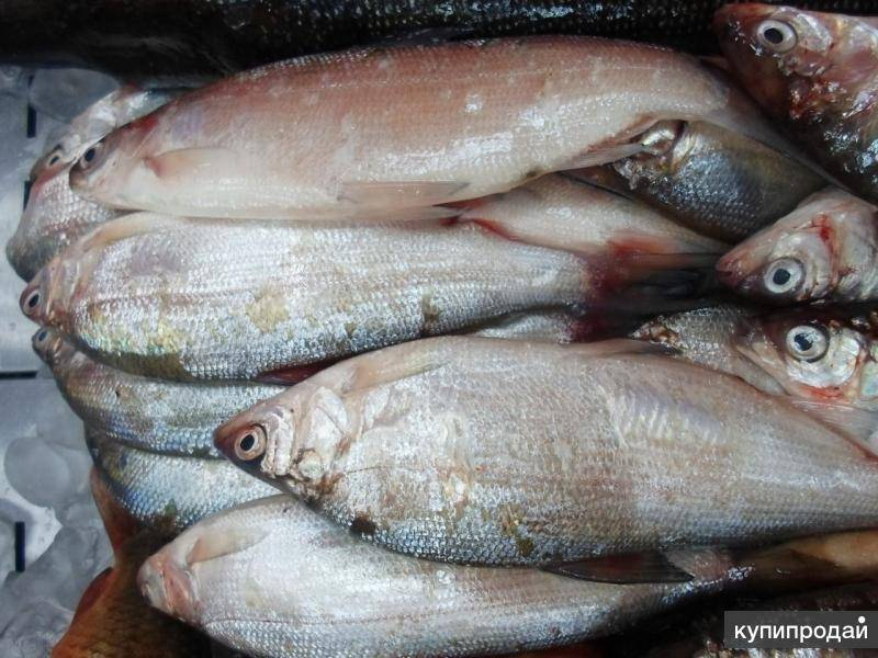 Рыба пелядь (сырок): характеристики, места и условия обитания, питание, нерест, ловля и выращивание