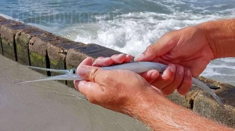 Эффективные способы ловли черноморского саргана