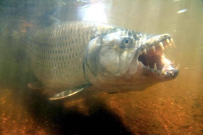 Тигровая рыба голиаф: описание, обитание и ловля речного монстра