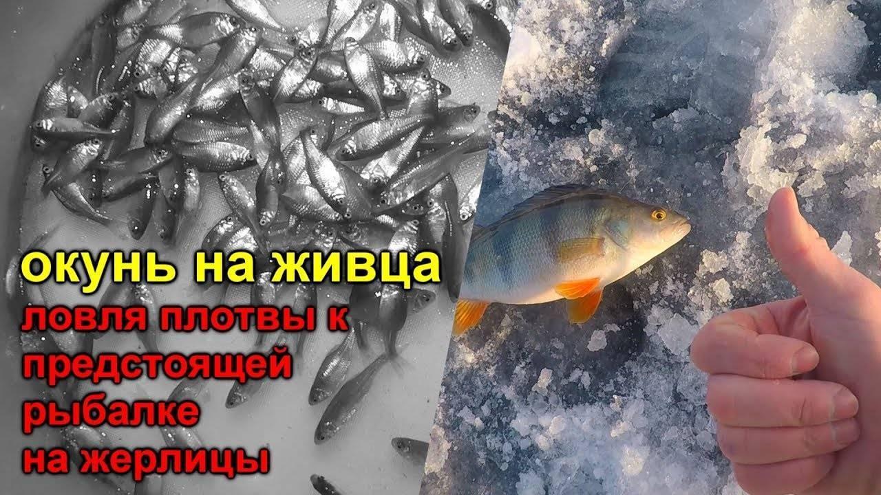Ловля окуня на живца осенью: как ловить на удочку, сколько живет рыба