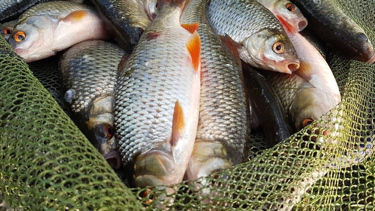 На что ловить плотву? лучшие наживки и приманки для ловли зимой, осенью, весной и летом