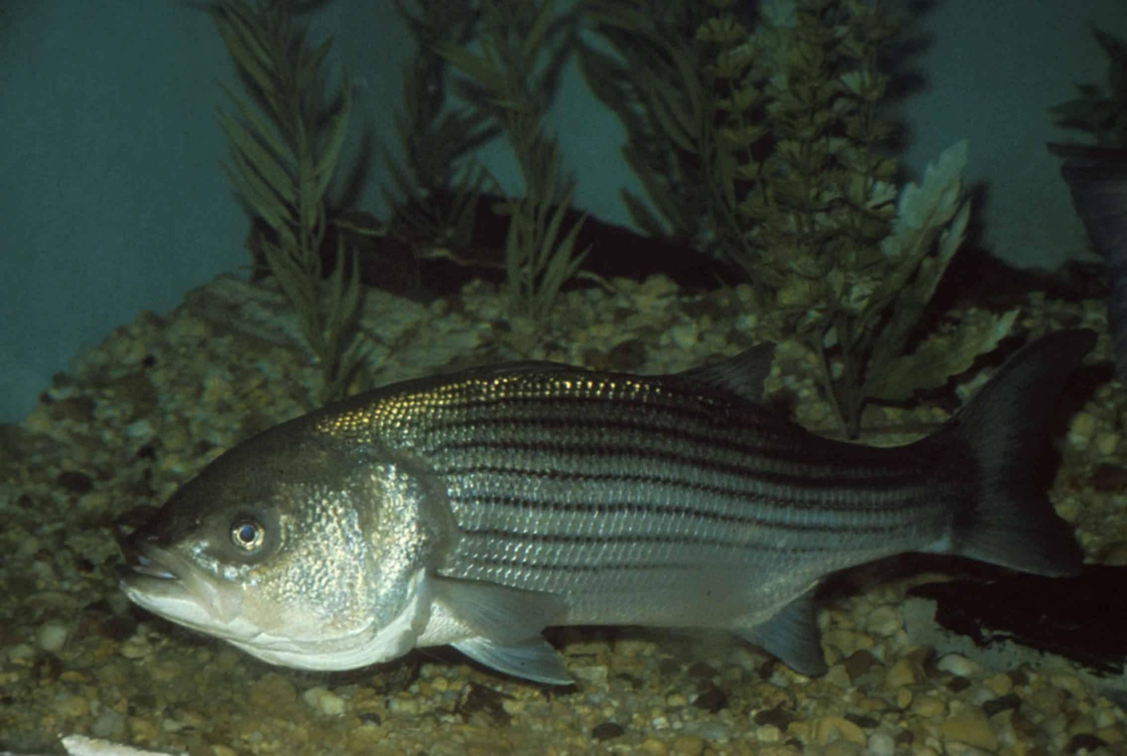 Рыба-лев, полосатая крылатка, рыба-зебра (pterois volitans). фото и видео