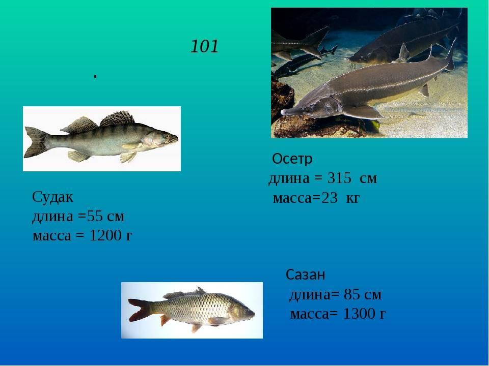 Рыба осетр: как выглядит, где обитает и сколько живет,основные виды семейства осетровых