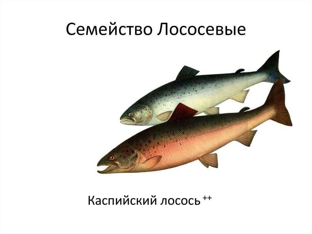 Лососевые виды рыб: описание и хозяйственное значение — cельхозпортал