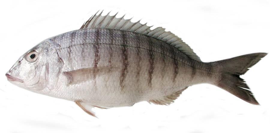 Как поймать рыбу шпиц (полурыл, halfbeak) в средиземном море израиля - где и на что ее ловить  | все о рыбалке в израиле