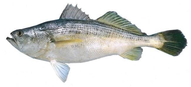 Рыба «Горбыль полосатый» фото и описание