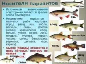 Рыба сырок картинки - о здоровье