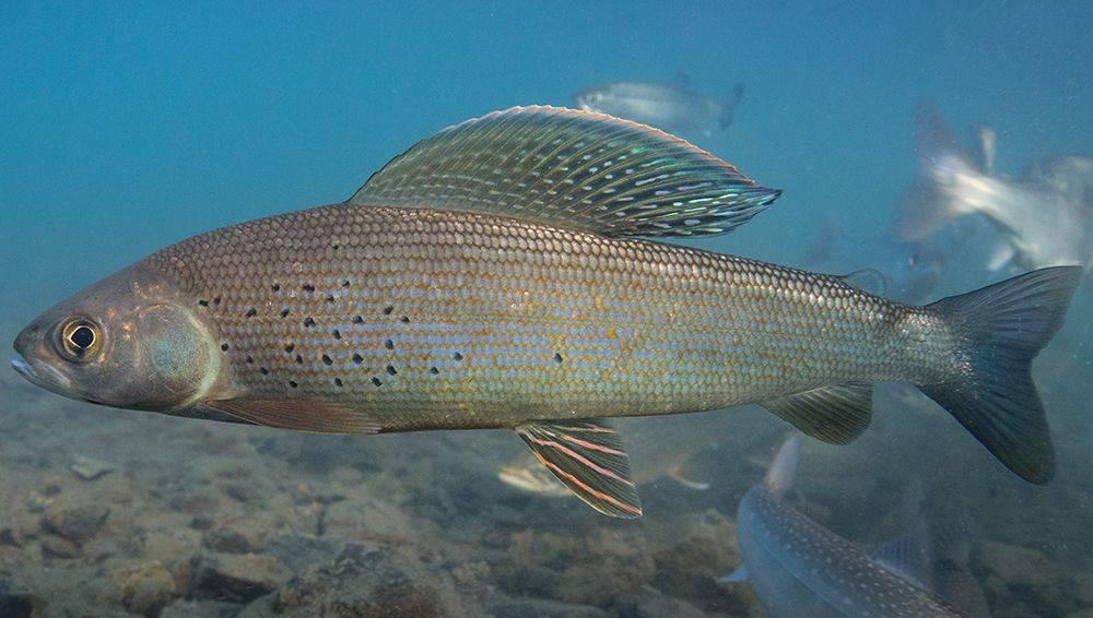 Рыба «Хариус европейский» фото и описание