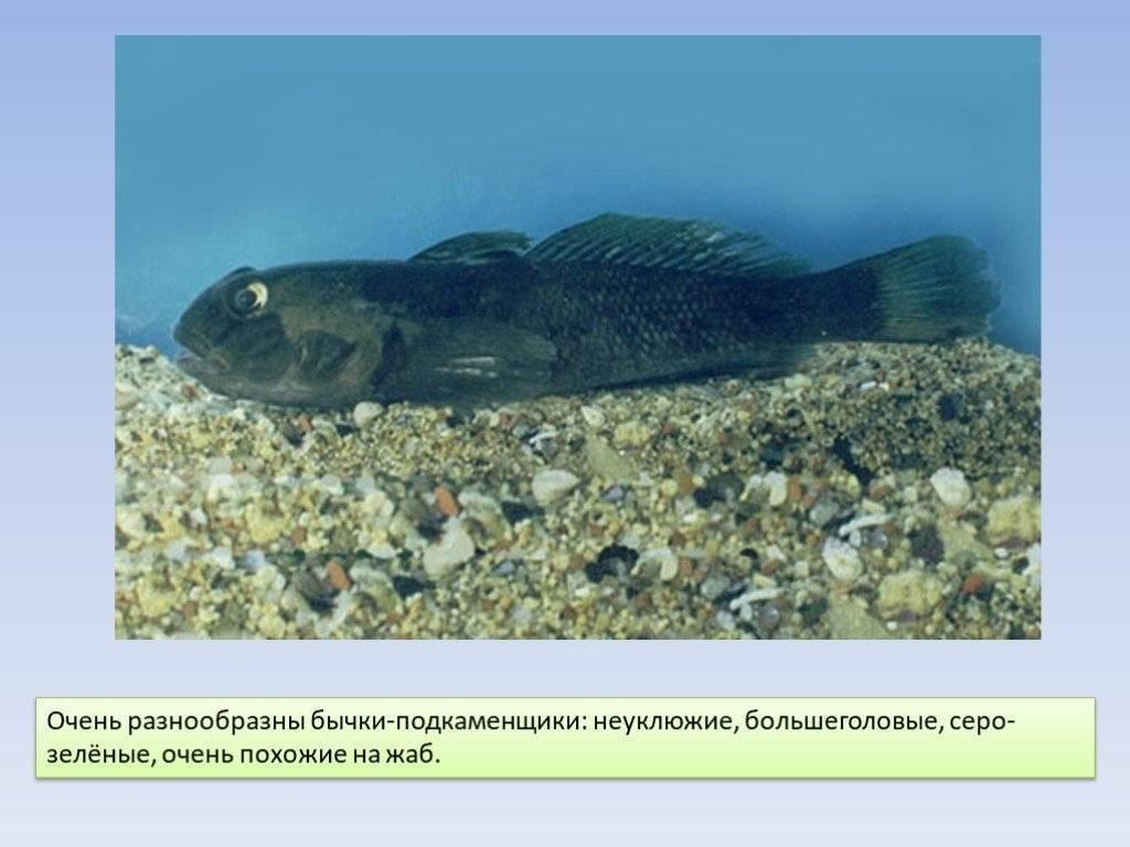 Аспидорас бычок (aspidoras taurus)