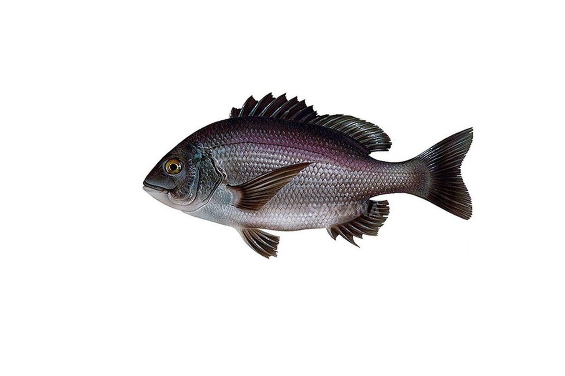 Места обитания и повадки морского карася, или ласкиря