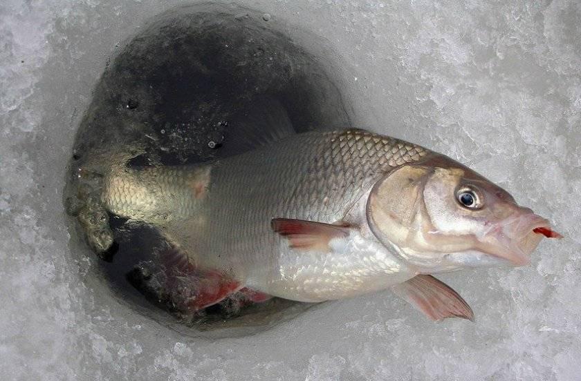 Ловля карася зимой со льда в декабре, январе, феврале, снасти и приманки