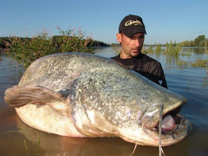 Рыба «Сом» фото и описание