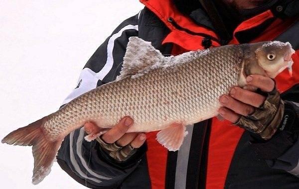 Характеристика рыбы вырезуб: описание, чем отличается от остальных представителей семейства, процесс ловли