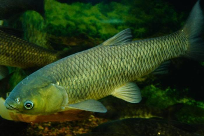 Белый амур: где водится рыба, и чем она питается, полезные свойства
