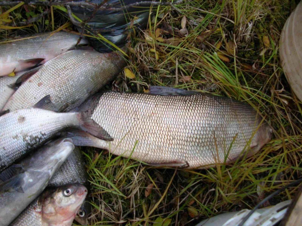 Рыба сиг – описание продукта, места обитания, способы применения
