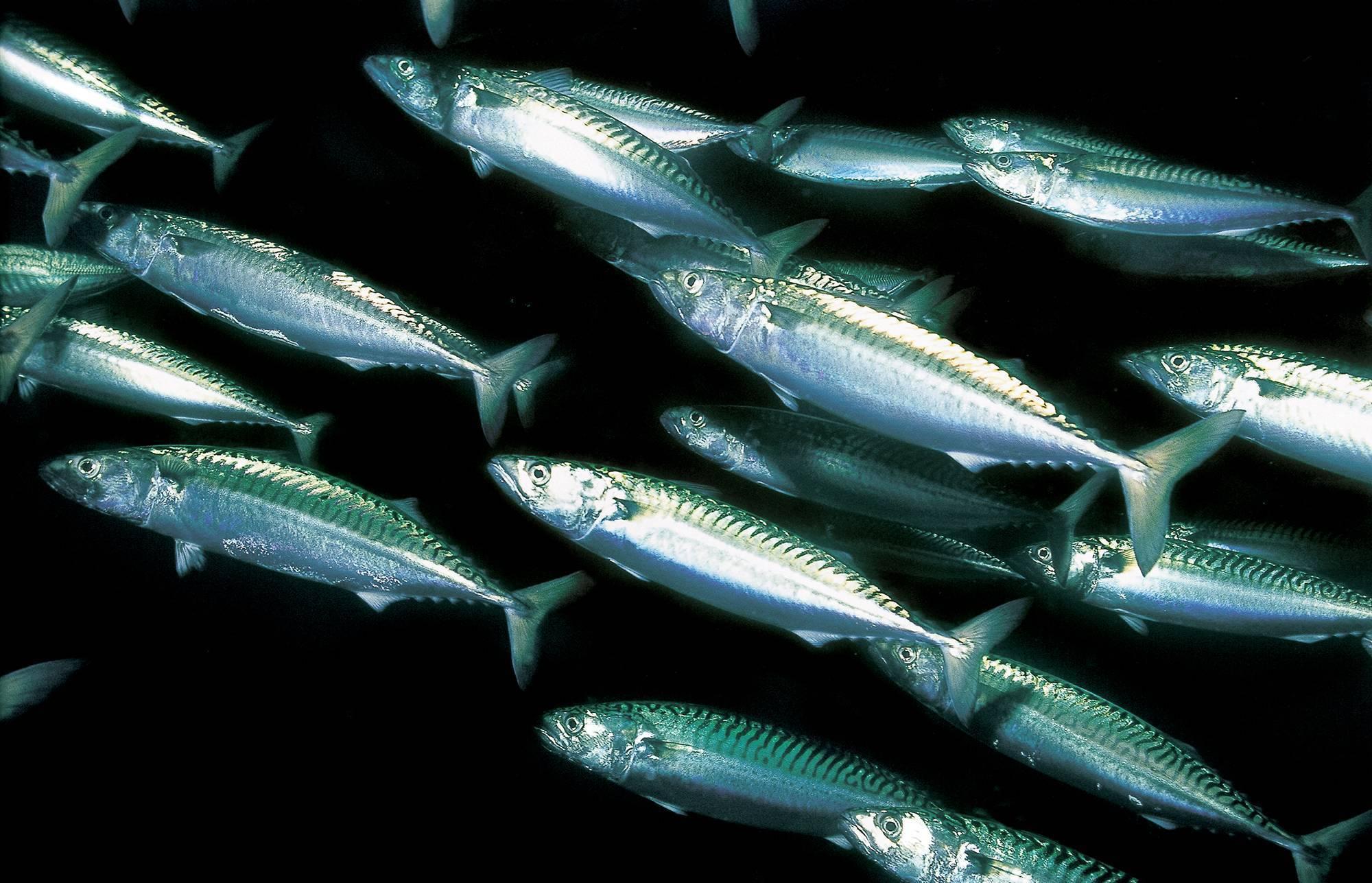 """Скумбрия """"рыбка золотая"""" – кулинарный рецепт"""