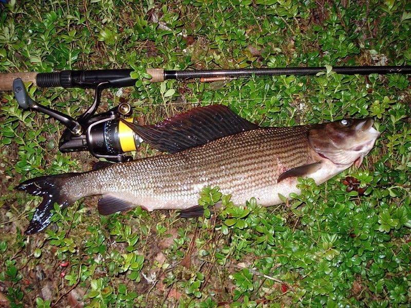 Рыба хариус – описание продукта с фото, калорийность; как ловить и приготовить; польза и вред