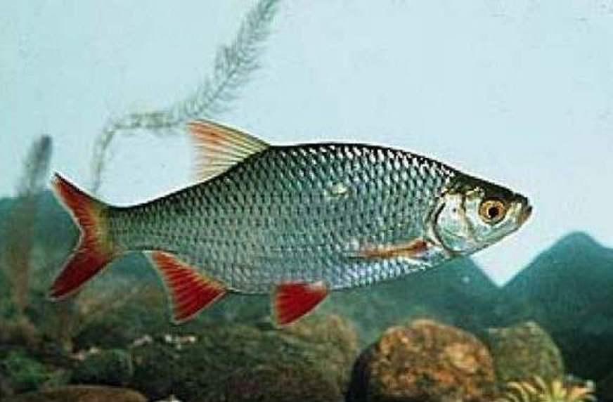Рыба плотва