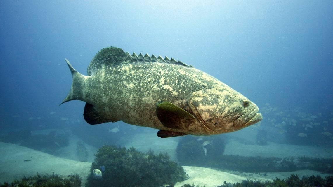 Черная треска (угольная рыба): фото, приготовление, польза и вред