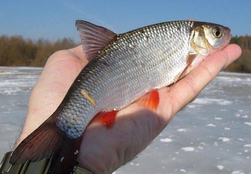 Язь - описание рыбы, на что клюет и выбор приманки для рыбы. самые эффективные снасти для лова язя (125 фото)