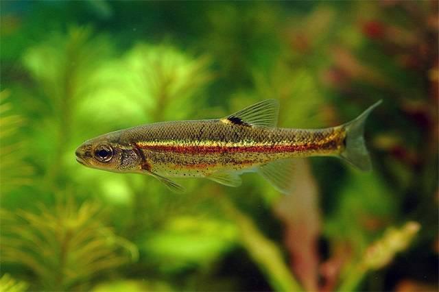 Гольян рыба – википедия, рецепты, фото, озерный, обыкновенный, рыбалка