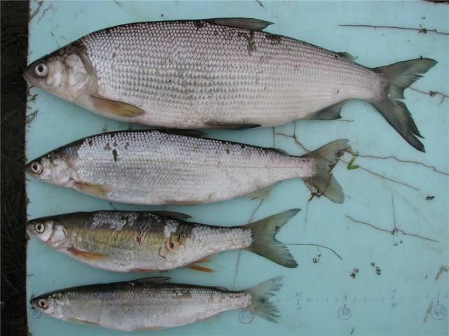 Рыба пелядь (сырок): описание, где водится, фото и способы ловли